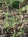 20151005Ambrosia artemisiifolia7.jpg