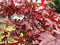 2016-04-21 12 48 43 Flowers on a red-foliaged Japanese Maple along Tranquility Court in the Franklin Farm section of Oak Hill, Fairfax County, Virginia.jpg