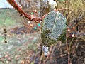 2016-12-17 08 43 00 Forsythia foliage coated in glaze ice from freezing rain along Tranquility Court in the Franklin Farm section of Oak Hill, Fairfax County, Virginia.jpg