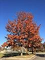 2017-11-23 14 01 03 Pin Oak in late autumn in Franklin Farm Park in the Franklin Farm section of Oak Hill, Fairfax County, Virginia.jpg
