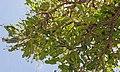 2017.07-455-172ap1 sheabutter tree,insect(Cirina butyrospermi(Saturniidae,Lepidoptera),larva(caterpillar) Koumbia(Tuy Prv.,Hauts-Bassins Rgn),BF fri28jul2017-1006h.jpg