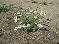 20180518Tripleurospermum inodorum1.jpg