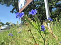 20190627Anchusa officinalis3.jpg