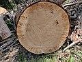 2020-05-17 Treering at GrosserSonnleitstein Lower Austria.jpg