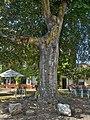 2020-08-01 ND 22 Blutbuche in Orsoy, NRW 02.jpg