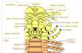 20200208 Remipedia Nectiopoda cephalon ventral morphology.png