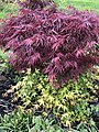 2021-04-25 17 26 05 Red Laceleaf Japanese Maple reverting to standard green by way of suckers beneath the graft point along Old Dairy Road in the Franklin Farm section of Oak Hill, Fairfax County, Virginia.jpg