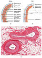 2102 Comparison of Artery and Vein.jpg