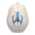 3rd ventricle - 05.png