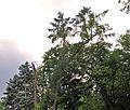46-101-5034 Lviv Mushaka 54 Tsuga Canadensis RB.jpg