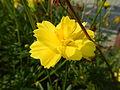 7380jfYellow flower Philippines Pandacaquifvf 03.JPG