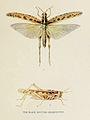 81-Indian-Insect-Life - Harold Maxwell-Lefroy - Acridium-aeruginosum.jpg