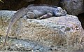 AZ Iguana at rest-3 (4628198353).jpg