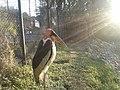 A Greater adjutant, Assam State Zoo 2.jpg