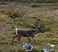 A Reindeer gallops by snoozing Gentoo Penguins (5751786396).jpg