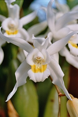 A and B Larsen orchids - Coelogyne mossiae 1071-24.jpg