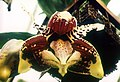 A and B Larsen orchids - Stanhopea tigrina 669-7.jpg