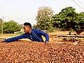 A cocoa farm in Ghana.jpg