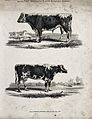 A cow and bull of the Midland long-horned breed. Etching, ca Wellcome V0021713ER.jpg