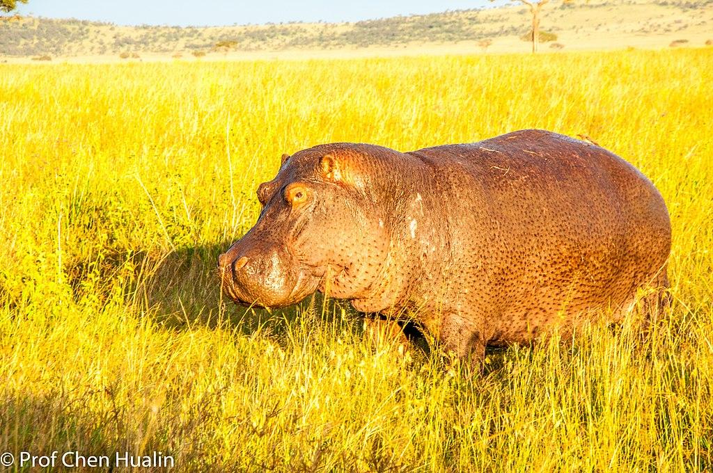 A hippopotamus walking on the grass land