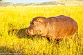 A hippopotamus walking on the grass land in Seregeti National Park in the morning.jpg