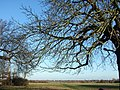 A tree in Grantchester meadow - geograph.org.uk - 1614344.jpg