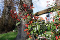 Abbess Roding Essex England - Photinia × fraseri leaves.jpg