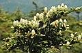 Abies fraseri (Fraser fir) (Clingmans Dome, Great Smoky Mountains, North Carolina, USA) 11 (36843487182).jpg
