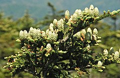 Abies fraseri (Fraser fir) (Clingmans Dome, Great Smoky Mountains, North Carolina, USA) 11 (36843487182).jpg