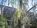 Acacia-stenophylla-pods3.jpg