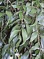 Acacia bakeri leaves.JPG