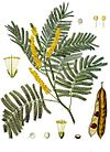 Acacia catechu - Köhler–s Medizinal-Pflanzen-003.jpg