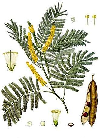 Senegalia catechu - Image: Acacia catechu Köhler–s Medizinal Pflanzen 003