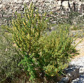 Acacia greggii 7.jpg