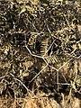 Acacia haematoxylon00.jpg