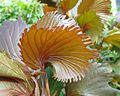 Acalypha wilkesiana 'Mooreana' detail.jpg