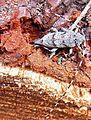 Acanthocinus aedilis female up.jpg