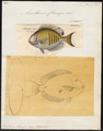 Acanthurus chirurgus - 1700-1880 - Print - Iconographia Zoologica - Special Collections University of Amsterdam - UBA01 IZ13700033.tif