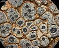 Acarospora strigata - Flickr - pellaea (8).jpg