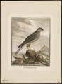 Accipiter nisus - 1700-1880 - Print - Iconographia Zoologica - Special Collections University of Amsterdam - UBA01 IZ18300081.tif