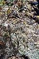 Acer palmatum var. dissectum Garnet 2zz.jpg