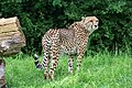 Acinonyx jubatus - Serengeti-Park Hodenhagen 2017 03.jpg