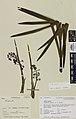 Aciphylla aurea W.R.B.Oliv. (AM AK105091).jpg