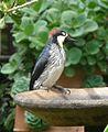 Acorn Woodpecker. Melanerpes formicivorus - Flickr - gailhampshire.jpg