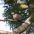 Adamawa Turtle-dove (Streptopelia hypopyrrha) in tree from side.jpg