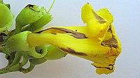 Adenocalymma validum (K.Schum.) L.G.Lohmann - Flickr - Alex Popovkin, Bahia, Brazil (5).jpg