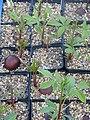 Aesculus californica seedlings (12545603544).jpg
