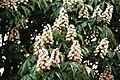 Aesculus hippocastanum KF.jpg