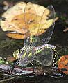 Aeshna crenata (laying eggs s7).JPG