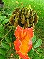 African-tulip (Spathodea campanulata) flower Ceret Sao Paulo Brazil.jpg
